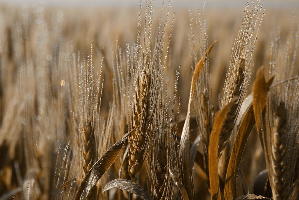 Wheat Belly pdf